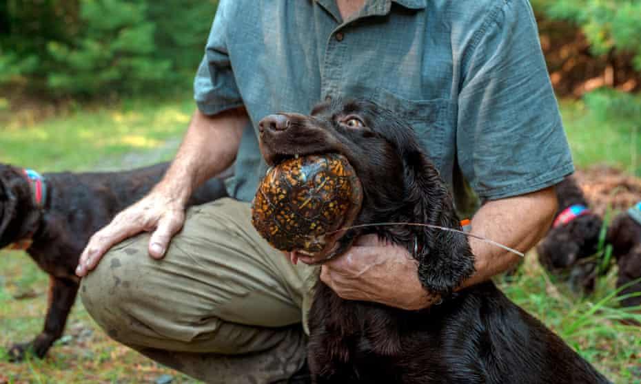 A trained dog retrieves a box turtle.