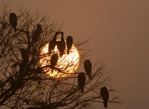 Great cormorants perch on a tree as the sun rises on a misty morning at Taudaha Lake in Nepal