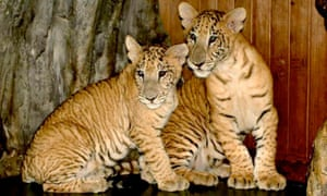 'Liger' cubs - a cross between a lion and a tiger.