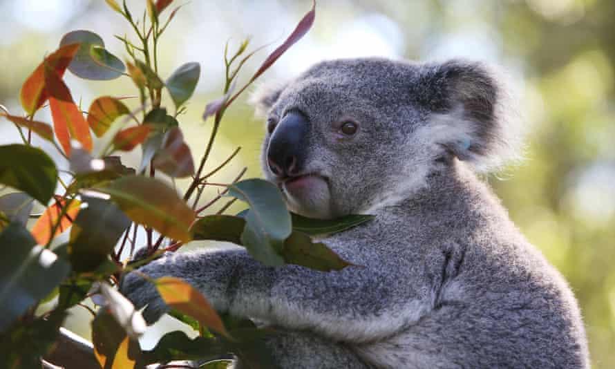 A young male koala named 'Jan' in an outdoor koala pen at Port Macquarie koala hospital