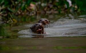 Giant otters (Ariranha) swim in the Pantanal.