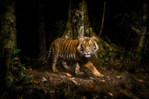 A tiger peers at a camera trap it triggered while hunting in the early morning in the forests of northern Sumatra, Indonesia