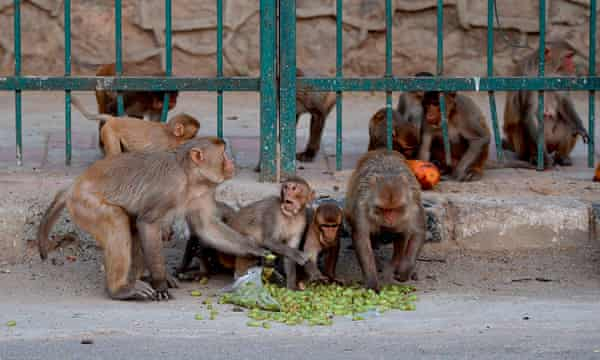 Monkeys eating fruit on a street in Delhi