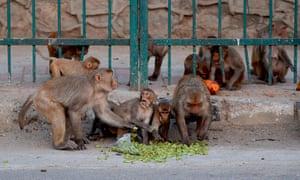 Monkeys eating fruit on a street in Delhi