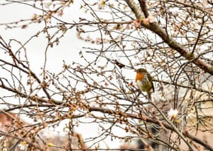 A robin sits in a cherry tree in Castle Park, Bristol, where milder weather in the south of the UK resulted in fresh buds and blossoms
