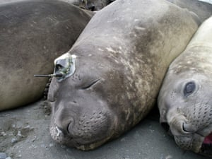 Elephant seal on South Georgia with a radio transmitter and sensors glued to its head