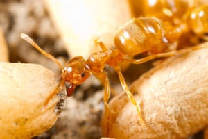 Yellow meadow ant (Lasius flavus) worker moving cocooned pupae in a nest