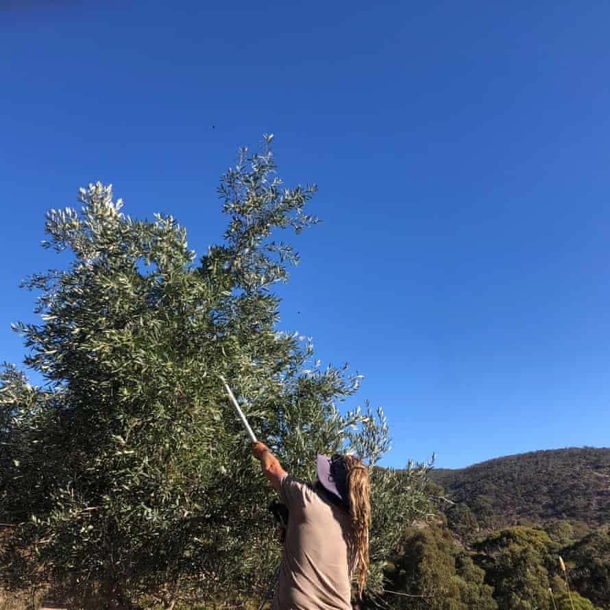 Phil Mather crops olives from a wild tree.