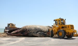 Workers remove the carcass of a whale on Strand Beach, near Cape Town. The South African beach, popular with Christmas holidaymakers, has been closed until the carcass is removed amid concerns its blood may attract sharks.