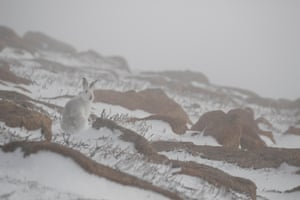 Mountain hares in Cairngorms national park, Scotland