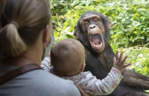 A chimpanzee reacts to visitors as he sits in his enclosure at Osnabruck zoo in Germany