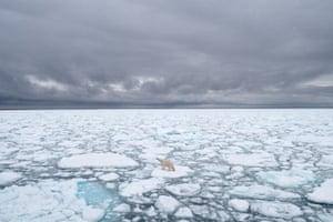 A polar bear in melting ice