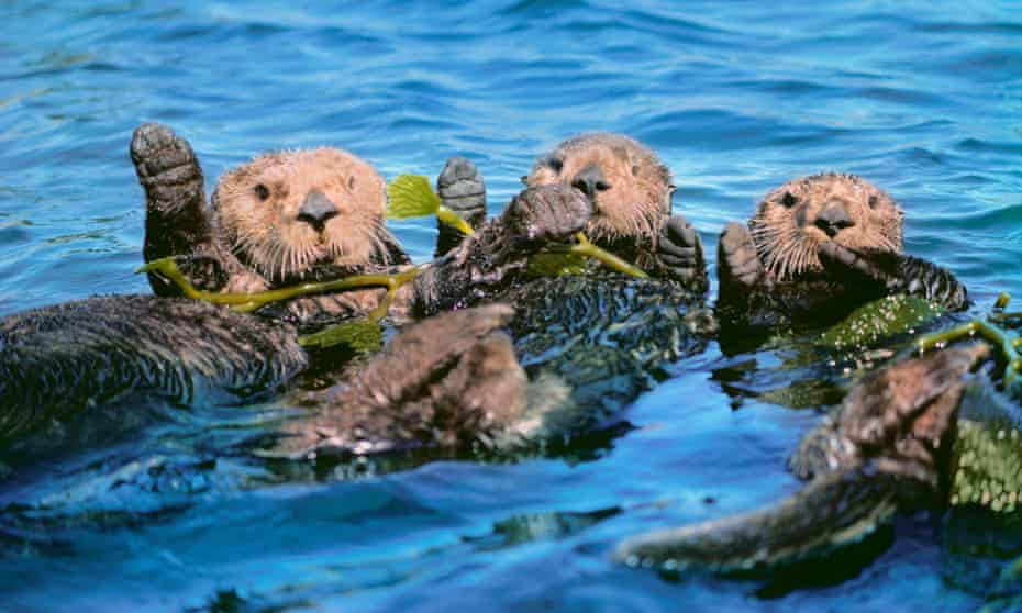 Sea otters floating in kelp