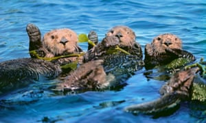 Without sea otters off the Pacific coast of North America the giant kelp beds are destroyed by sea urchins.