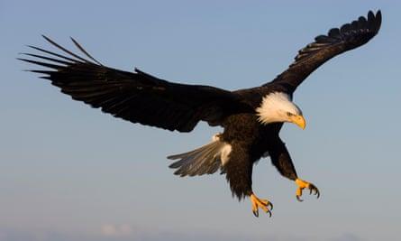 A bald eagle in Alaska.