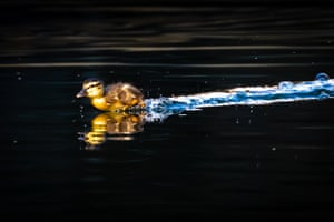 London, UK: a duckling runs across the water before swimming on a canal in Wapping
