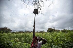 Farmer Kanini Ndunda reaches up with a shovel to shake tree branches in Katitika village, Kitui county,