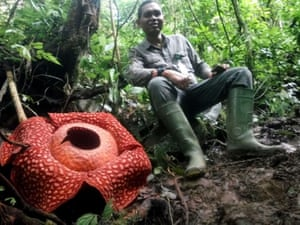 A man sits next to a giant Rafflesia tuan-mudae flower at the Maninjau nature reserve in Agam, West Sumatra, Indonesia