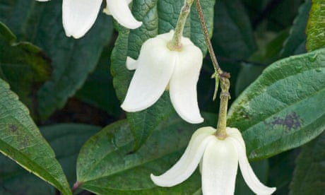 Gardening tips: plant Clematis 'Winter Beauty'