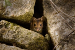 Wood mouse peering out from between rocks