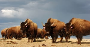 A herd roam on the Fort Peck Reservation near Poplar, Montana