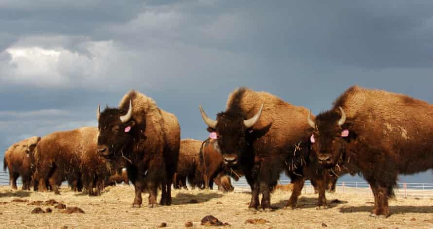 A herd roam on the Fort Peck Reservation near Poplar, Montana