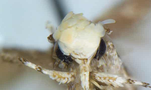 The Neopalpa donaldtrumpi moth