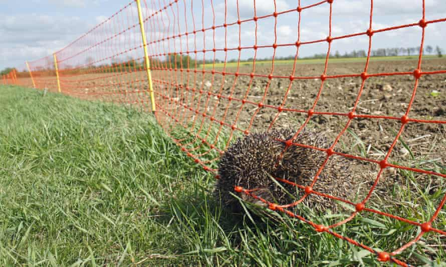 A dead adult hedgehog trapped in an electric fence.