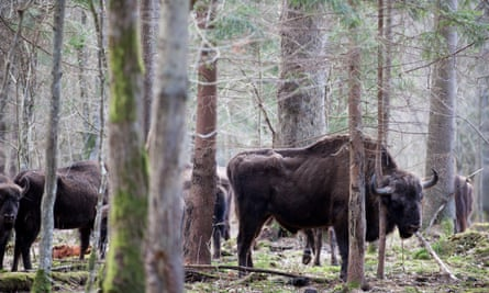 A herd of wild bison is seen in the Białowieża forest, Poland.