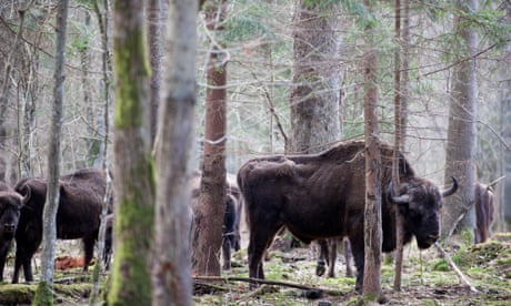 Wild bison to return to UK for first time in 6,000 years