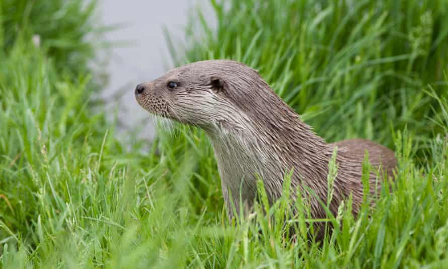 European otter on a riverbank