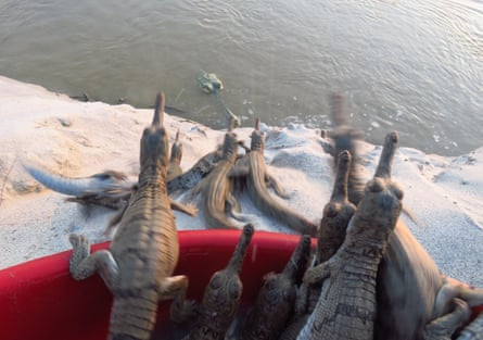 Gharial hatchlings make their way into the river, where their mother waits for them.