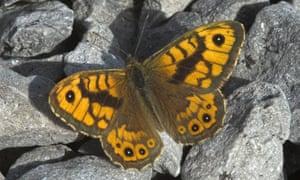 Wall brown butterfly (Lasiommata megera).
