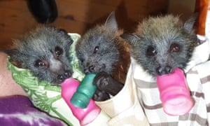 Flying fox bats in homemade wraps.