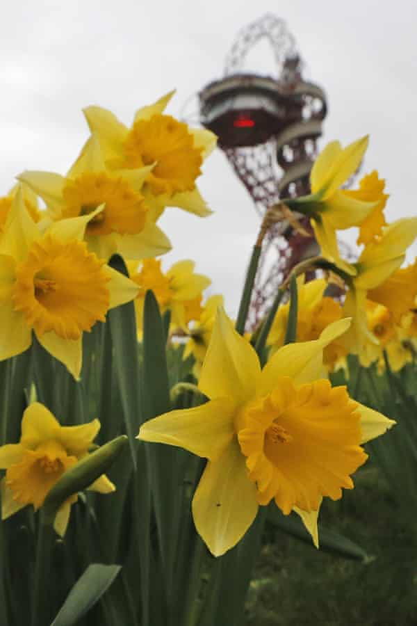 Daffodils in bloom at London's Olympic Park December.