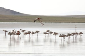 Flamingos standing in Akgol, a lake situated at an altitude of 2320m in the Ozalp district of Turkey's eastern Van province.