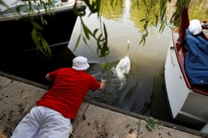 A swan is released. As well as the conservation work that swan upping encompasses, swan uppers continue to focus on the education of primary age children, and several schools will join the uppers on the river