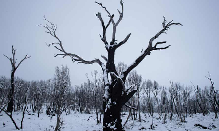 A bare tree blanketed by snow in Sawyers Hill in the snowy mountains