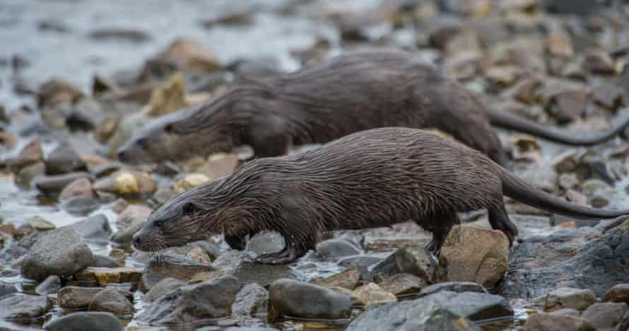An otter and cub cross the shore to wash off salt water in the stream