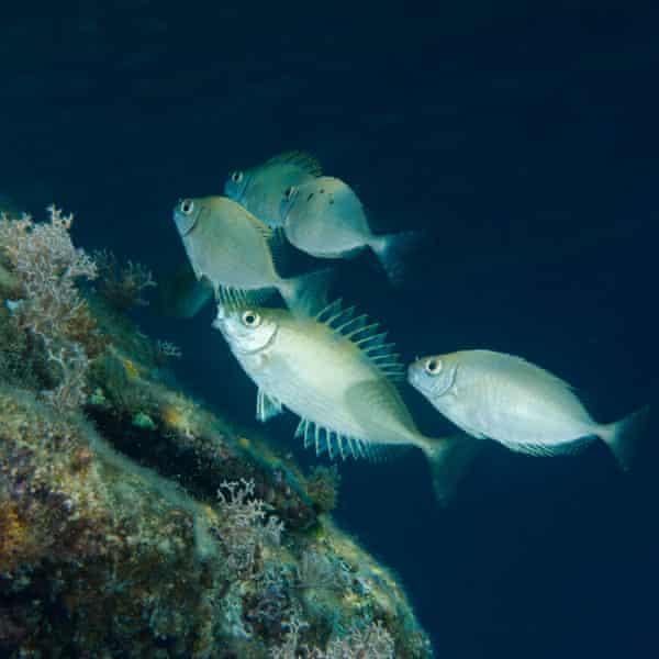 School of rabbitfish (Siganus luridus) grazing over reef, Greece