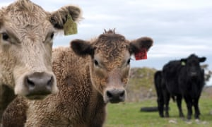 Beef cattle on a farm in Victoria, Australia