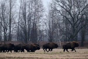 European bison run across a field near the village of Azerany, about 150 miles south of Minsk in Belarus