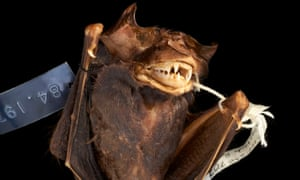 Bat preserved in alcohol