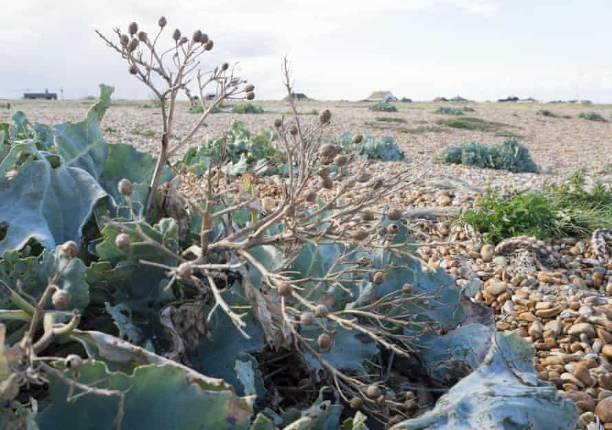 Sea kale, Dungeness