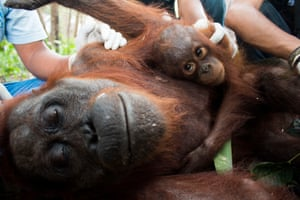 A mother and baby orangutan