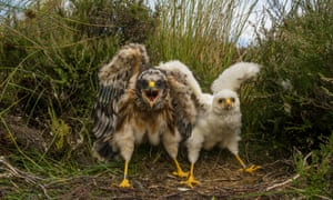 Hen harrier chicks.