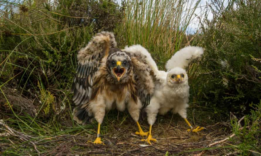 A hen harrier nest with two chicks.
