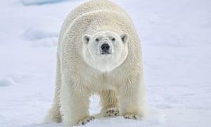 A polar bear in the Arctic Svalbard islands.