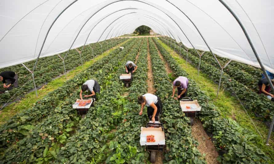 Fruit pickers pick strawberries at a fruit farm in Hereford.