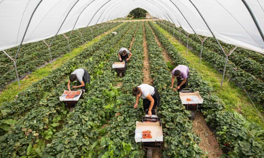 Fruit pickers on a farm in Hereford.